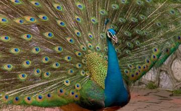 Peacock Wallpapers for Desktop