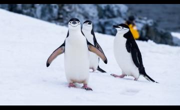 Penguin Laptop Wallpapers