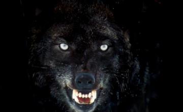 Per Black Wolfs Wallpaper
