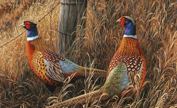 Pheasant Wallpaper