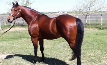 Quarter Horse Wallpaper