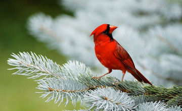 Red Cardinal Wallpaper