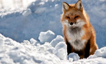 Red Fox Pictures for Wallpaper