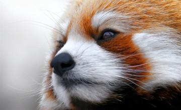 Red Panda Wallpaper Desktop