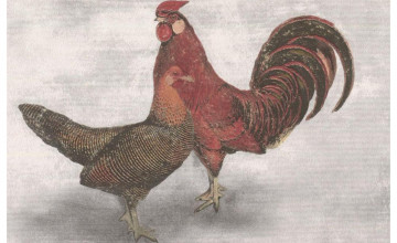 Red Rooster Border Wallpaper