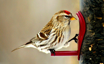 Redpoll Wallpaper