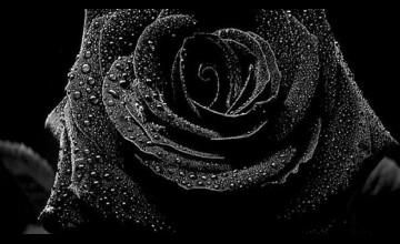 Rose On Black Background