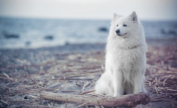 Samoyed Backgrounds