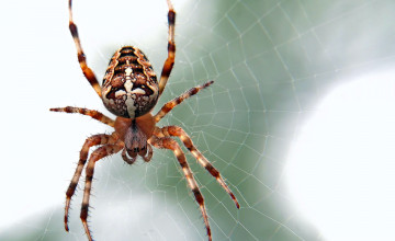 Spider Insect Wallpapers