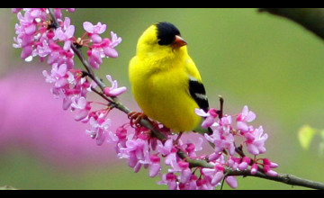 Spring Bird Wallpaper
