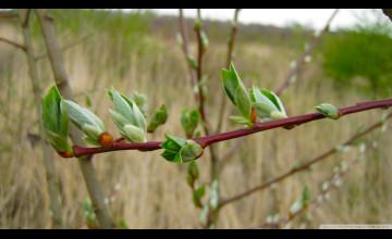 Spring Buds Wallpaper