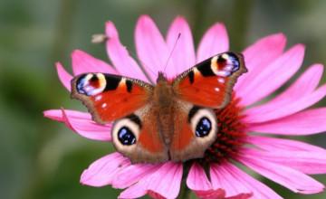 Spring Butterfly Wallpaper