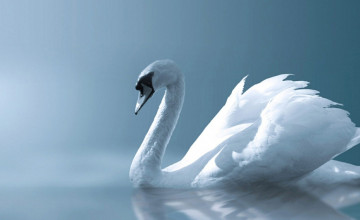 Swan Wallpaper for Home