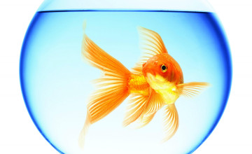 Swimming Goldfish Wallpaper