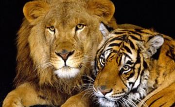Tiger Screensavers and Wallpaper