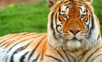 Tigers Wallpapers for Desktop
