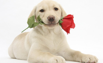 Valentine Puppy Free Wallpaper
