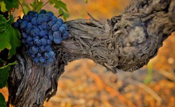 Wallpaper Grape Vines