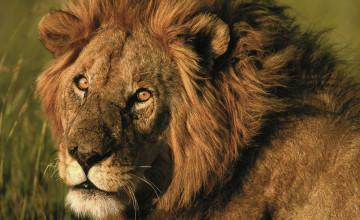Wallpapers for Desktop Lions
