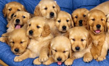 Wallpapers for Desktop Puppies