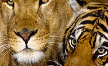 Wallpapers of Lions and Tigers