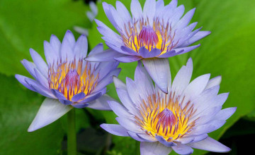 Water Lily Wallpaper for Computer