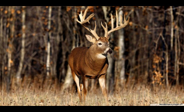 Whitetail Deer Screensavers and Wallpaper