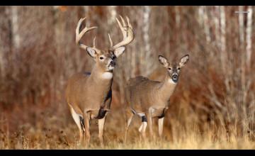 Whitetail Deer Wallpaper