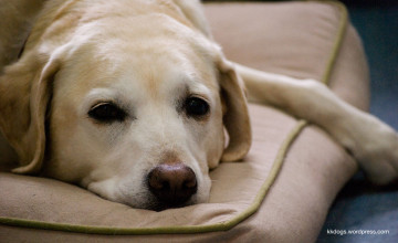 Yellow Lab Wallpaper Pictures