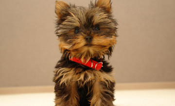 Yorkie Pictures Wallpaper